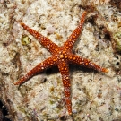 Friant\'s Sea Star