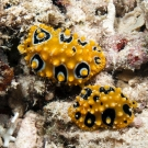 Dorid Nudibranch