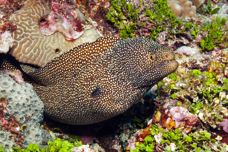 White Mouthed Moray