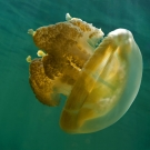 Golden Jellyfish differ from their oceanic kin the Spotted Jellyfish by the lack of spots on the dome and the greatly reduced stinging clubs (small tabs) on the ends of the frilled oral arms.
