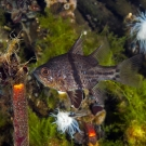One of two fish species in the lake, the Orbicular Cardinalfish (Sphaeramia orbicularis) are curious and unafraid.