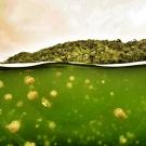 Snorkeling Palau's Jellyfish Lake.