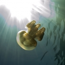 Solar powered Golden Jellyfish with its energy source.