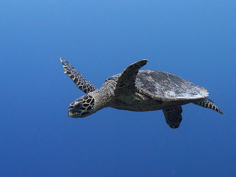 A Hawksbill Turtle (Eretrochelys imbricata) cruises past in the blue.