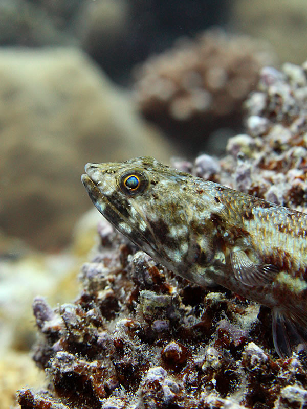 A Reef Lizardfish (Synodus variegatus) staring out at the reef.