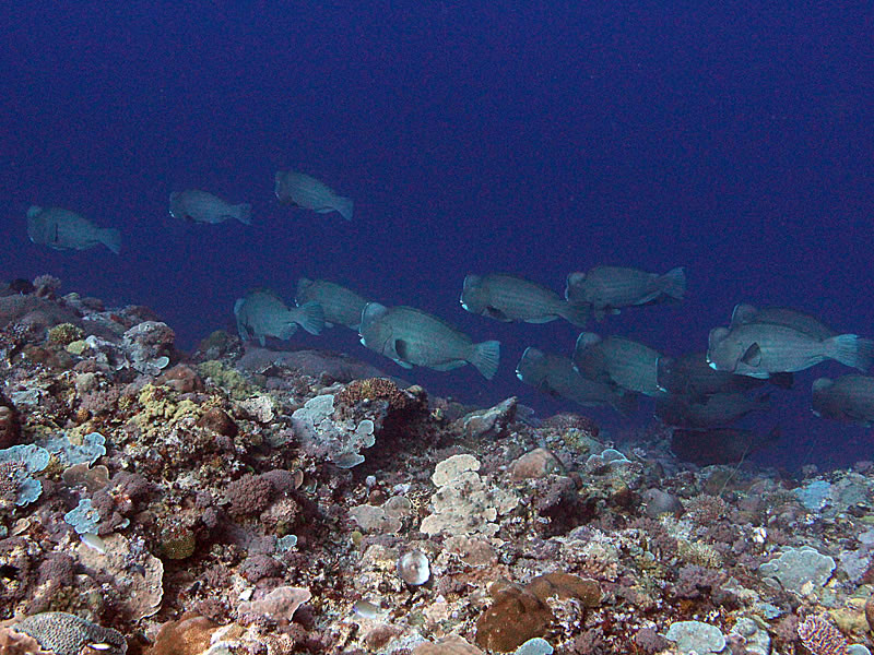 A school of Bumphead Parrotfish (Bulbometopon muricatum) pass by on the reef.
