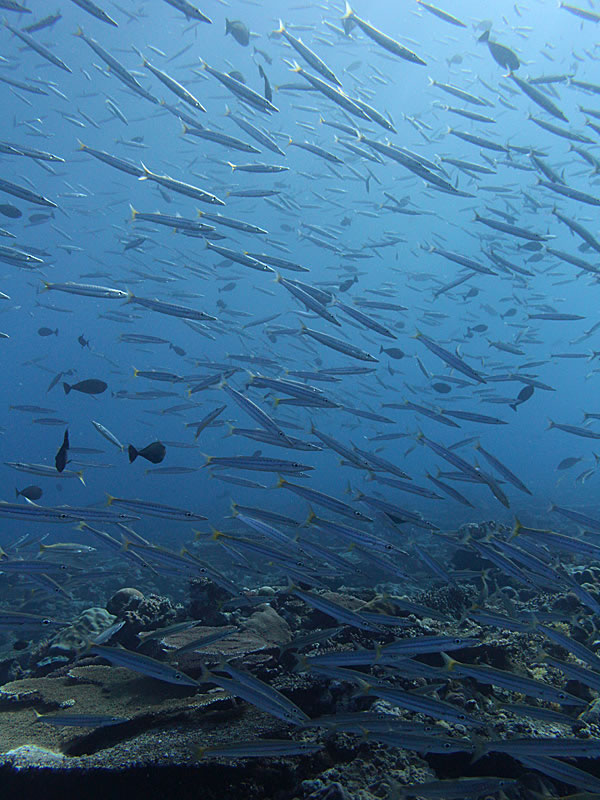 A school of Yellowtail Barracuda (Barracuda obtusata) swim past on the reef.