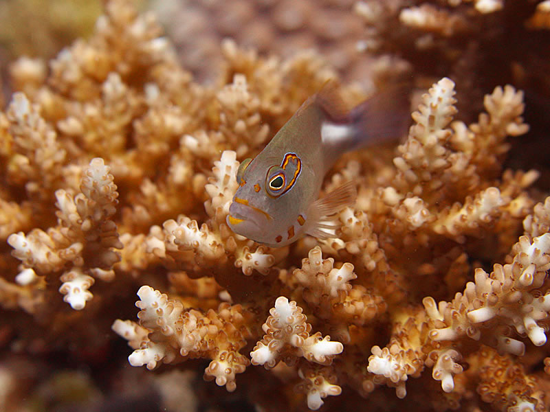 An Arc-eye Hawkfish (Paracirrhites arcatus) surveys the reef around him.
