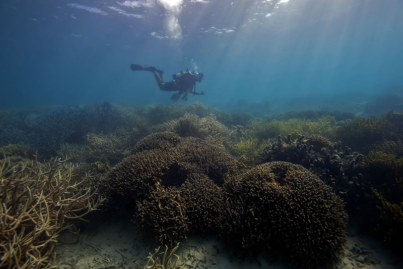 Anderson Mayfield swims the shallows over mounds of digitate Porites corals and thickets of Acropora.
