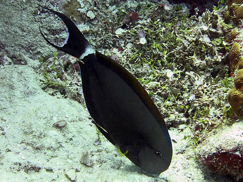 Black streak surgeonfish (Acanthurus nigricauda)