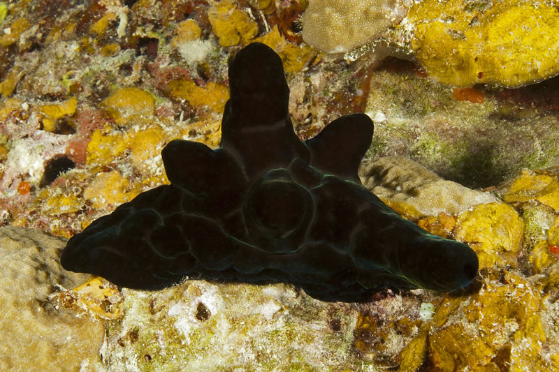 Black Velvet Snail (Coriocella nigra) looks like a nudibranch but has an internal shell.