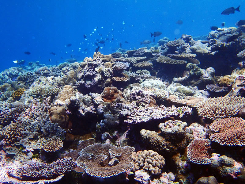 common-suite-of-shallow-water-reef-building-corals-characteristic-of-many-indo-pacific-reef-crests-at-desomel-palau