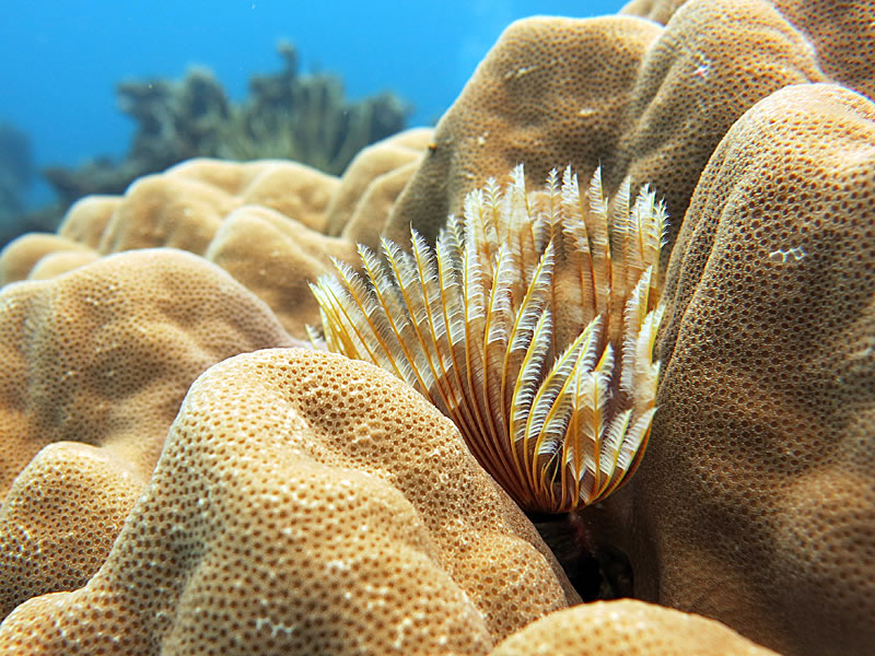 Feather duster worm (Sabellastarte)