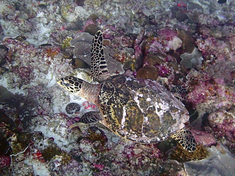 Hawksbill sea turtle at 20-25 m near
