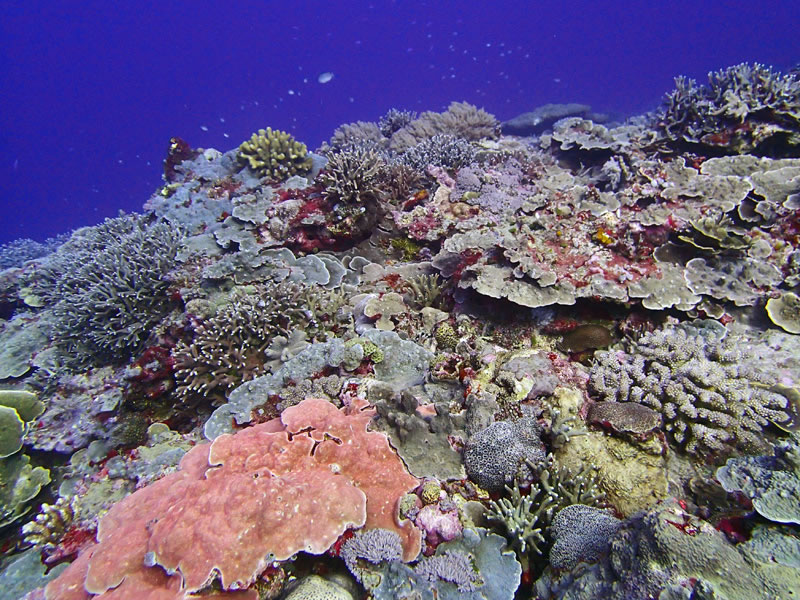 A high hard coral cover area in Peleliu, Palau