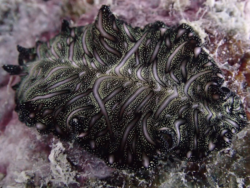 Magic carpet flatworm at Ngeruktabel, Palau.