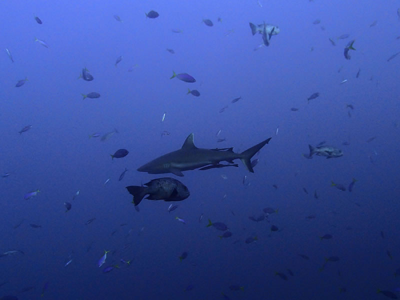 One of nearly 50 grey reef sharks seen at Palau\'s famous