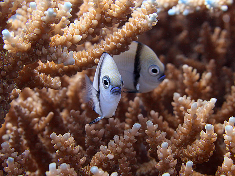 Pair of Reticulated Damselfish (Dascyllus reticulatus) peek out from within an acroporid coral.