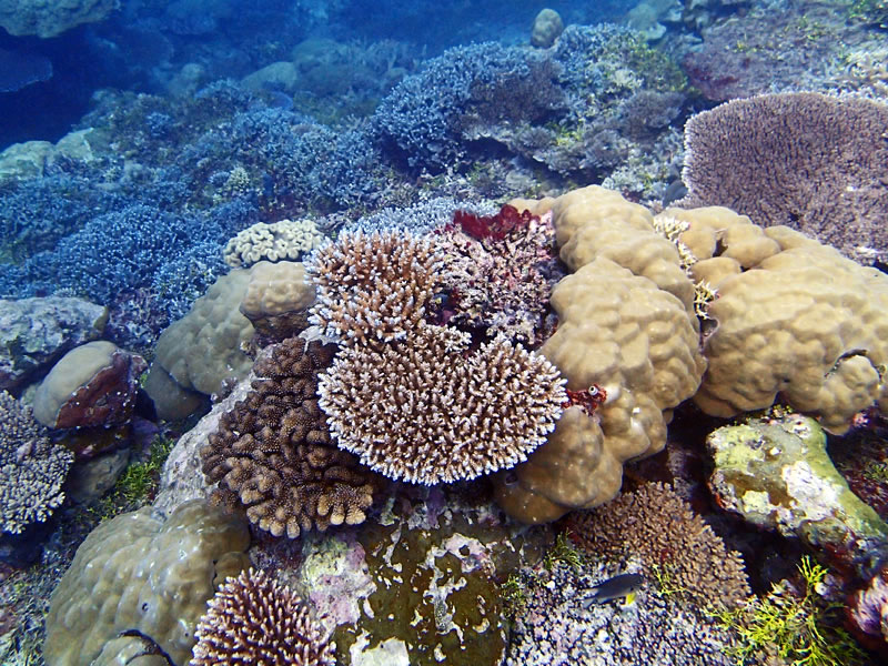 Pocillopora spp., Acropora spp., and Porites spp.-dominated reef at Western barrier reef, Palau (near Ulong).