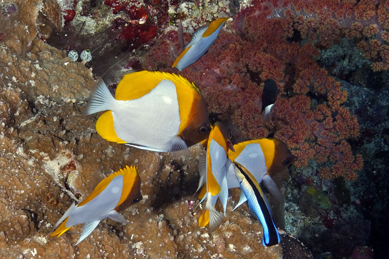 Group of Pyramid Butterflyfish (Hemitaurichthys polylepis) being cleaned by a Bluestreak Cleaner Wrasse (Labroides dimidiatus).