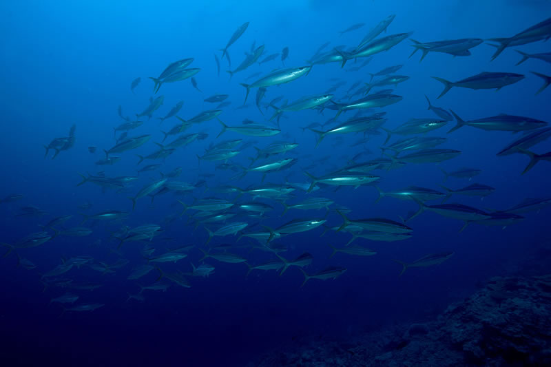 School of Rainbow Runners (Elagatis bipinnulatus) buzz by the reef.