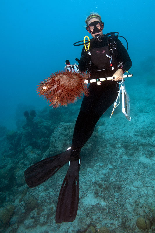Mermaid-like Grace Frank collects a Crown-of-thorns Seastar.