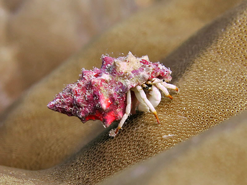 Small white hermit crab (Calcinus minutus)
