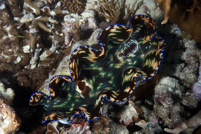 Smooth Giant Clam (Tridacna derasa).