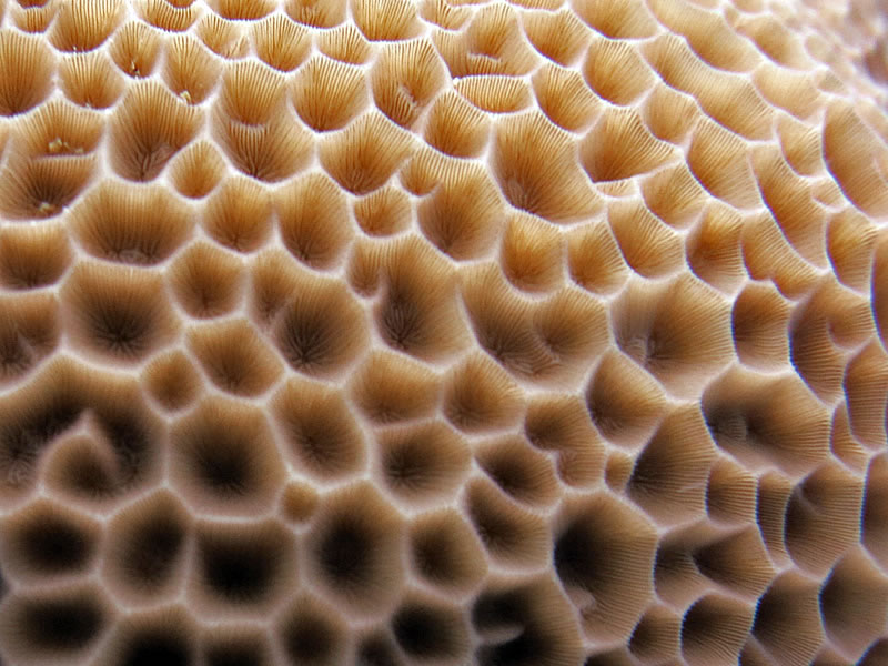 Structural details of the hard coral Gardineroseris