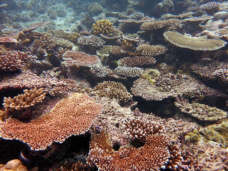 Tables of colorful Acropora dominate the reefs in Palau