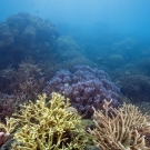 Despite the murky conditions a multi-hued coral garden of Acropora corals brings color to the dive.