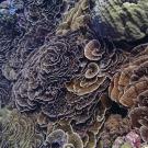 Beautiful Merulina sp. colonies at Peleliu