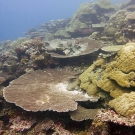 Plates of colorful Acropora and massive lobe corals (Porites) dominate the reefs in Palau