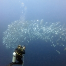 Coral scientist, Grace Frank, captures photos of a school of long-jawed mackerel (Rastrelliger kanagurta)