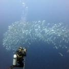 Coral scientist, Grace Frank, captures photos of a school of long-jawed mackerel (Rastrelliger kanagurta)