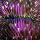 Fungia fungites mushroom coral abstract detail.