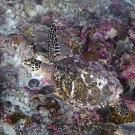Hawksbill sea turtle at 20-25 m near
