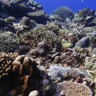 High coral diversity and cover in a shallow barrier forereef ecosystem at Peleliu, Palau.