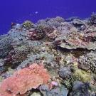 A high hard coral cover area in Peleliu, Palau