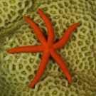 Luzon Sea Star (Echinaster luzonicus) on Goniastrea sp. coral.