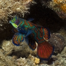 Male Mandarinfish (Synchiropus splendidus) displaying in an effort to attract mates to spawn at dusk.
