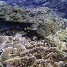 Merunlina sp. at Peleliu, Palau - amongst the most photogenic corals.