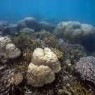 Mounding Porites mix with digitate Porites and branching Acropora colonies.