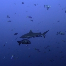 One of nearly 50 grey reef sharks seen at Palau's famous