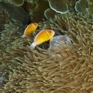 Pair of Pink Anemonefish (Amphiprion perideraion) in a large Leathery Sea Anemone (Heteractis crispa).