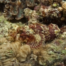 Papuan Scorpionfish (Scorpaenopsis papuensis) is a master of camouflage.