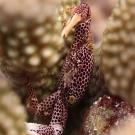Rust-spotted Guard Crab (Trapezia rufopunctata) protecting its Pocillopora coral.