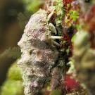 Small white hermit crab (Calcinus minutus)