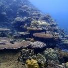 Tabular acroporids and massive poritids at Ulong Reef
