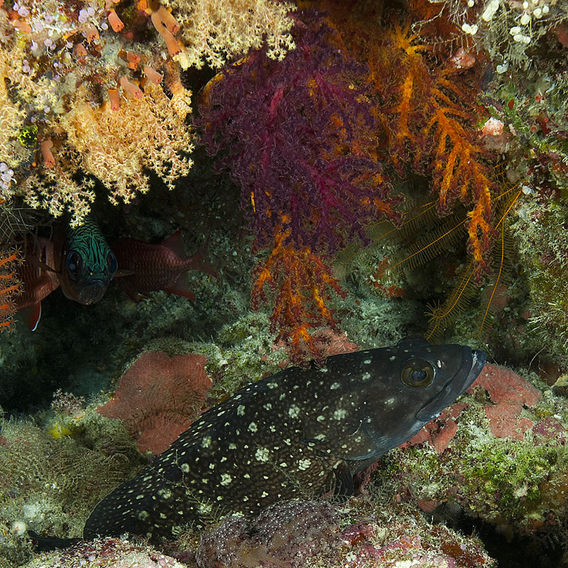 White Spotted Grouper (Epinephelus caeruleopunctatus) hiding beneath an overhang surrounded by soft corals.